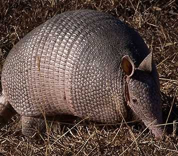 The Armadillo is the state animal of Texas. The armadillo featured on the Texas Dispensaries website is a clickable link to the nwf.org, or National Wildlife Federation